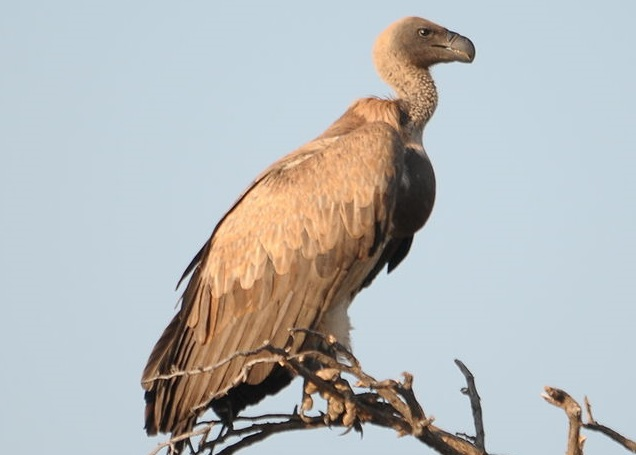 White-backed_Vulture