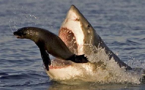 shark and seal